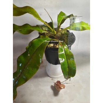 #319 Planta Carnívora - Nepenthes (Viking x Hookeriana) x Red Leopard