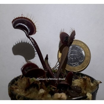Dionaea  Red Dragon JR (Red Dragon x Red Dragon)